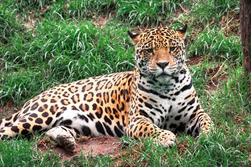 Retrato do leopardo selvagem imagem de stock royalty free