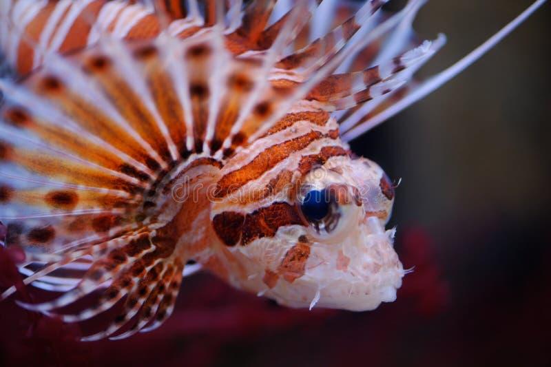 Retrato do Lionfish imagens de stock