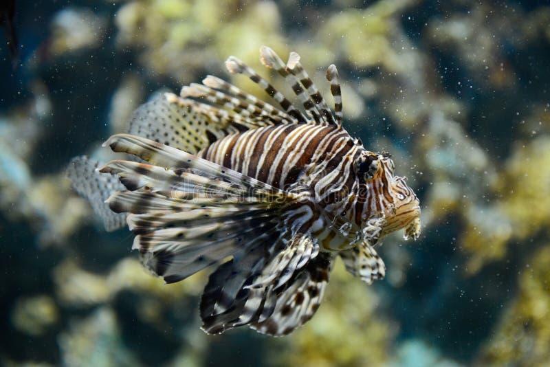 Retrato do lionfish imagens de stock royalty free