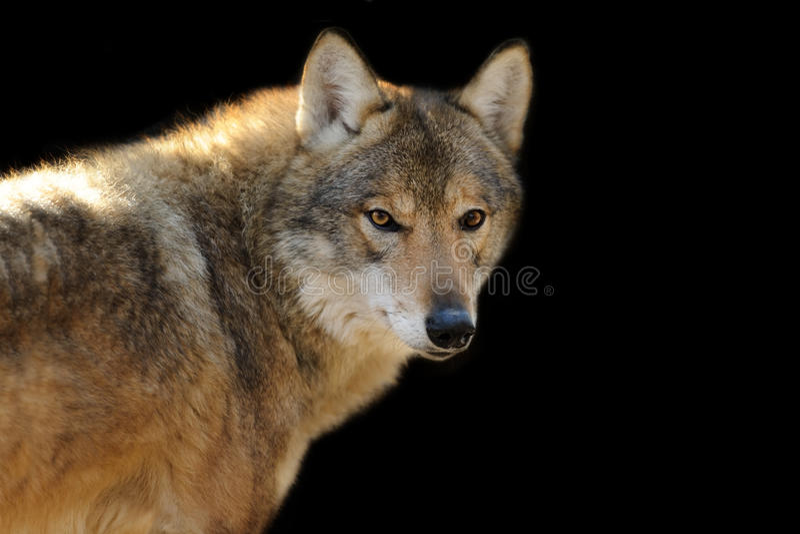 Retrato do lobo no preto imagens de stock royalty free