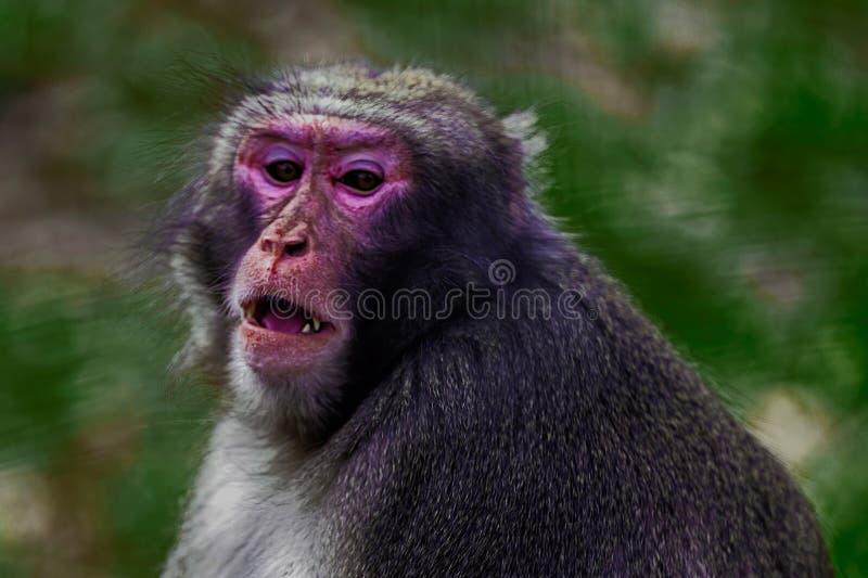 Retrato do macaco 4 fotografia de stock royalty free