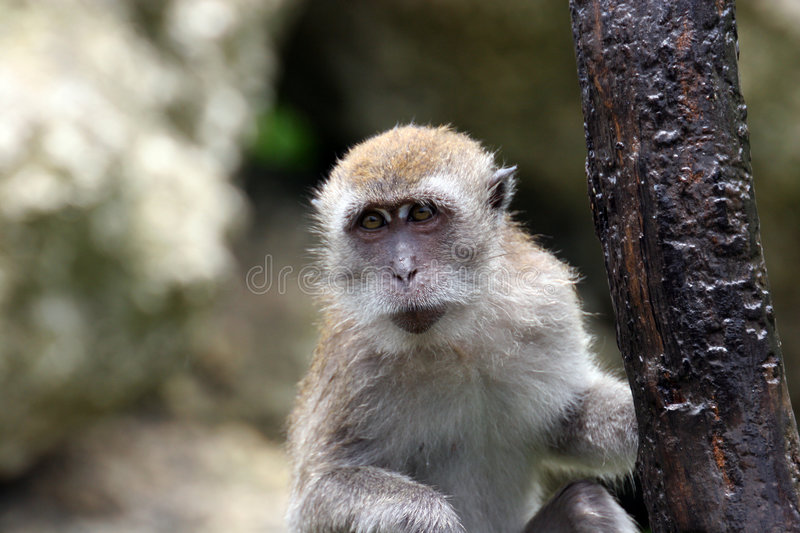 Retrato do macaco foto de stock royalty free