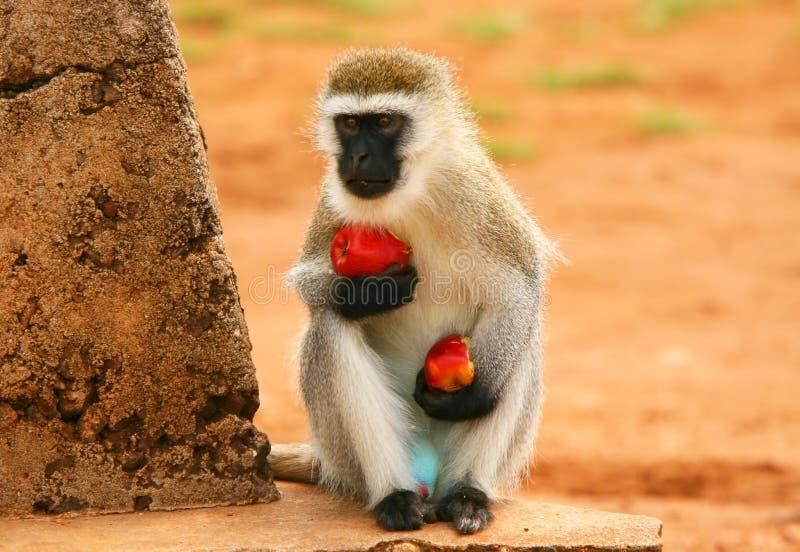 Retrato do macaco com fome selvagem imagem de stock royalty free
