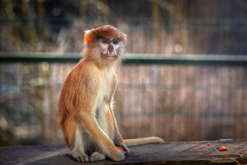 Retrato do macaco de Patas foto de stock