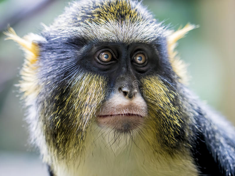 Retrato do macaco de um lobo fotos de stock royalty free