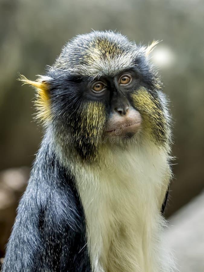 Retrato do macaco de um lobo fotografia de stock