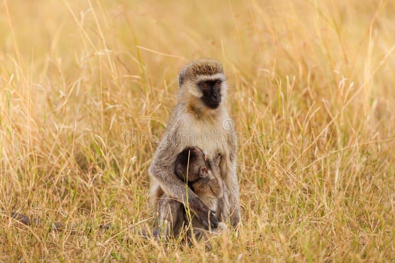 Retrato do macaco de vervet fêmea que mama seu bebê imagem de stock