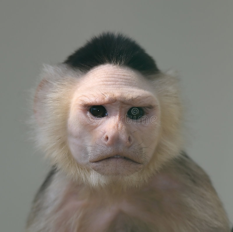 Retrato do macaco do capuchin imagem de stock royalty free