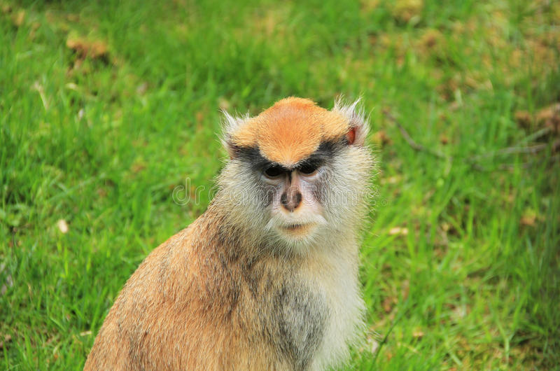 Retrato do macaco dos patas foto de stock royalty free