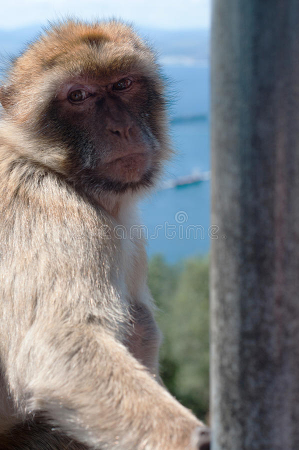 Retrato do macaco em Gibraltar fotografia de stock royalty free