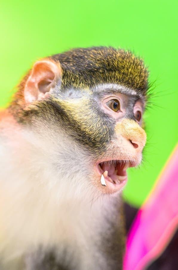 Retrato do macaco vermelho do ascanius do Cercopithecus do macaco da cauda, ou do guenon de Schmidt isolado no fundo verde imagens de stock royalty free