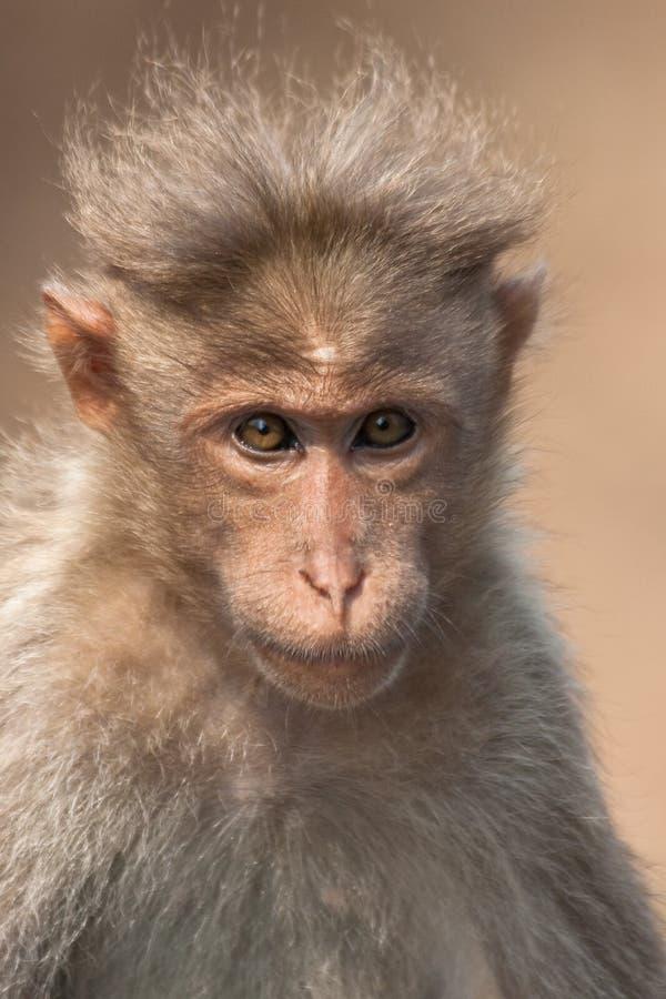 Retrato do Macaque de capota imagens de stock royalty free