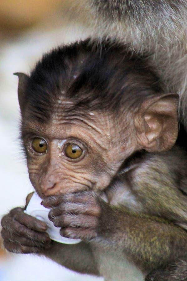 Retrato do Macaque de cauda longa caranguejo-comer do bebê do macaco, fascicularis do Macaca com os olhos grandes que jogam com l imagens de stock royalty free
