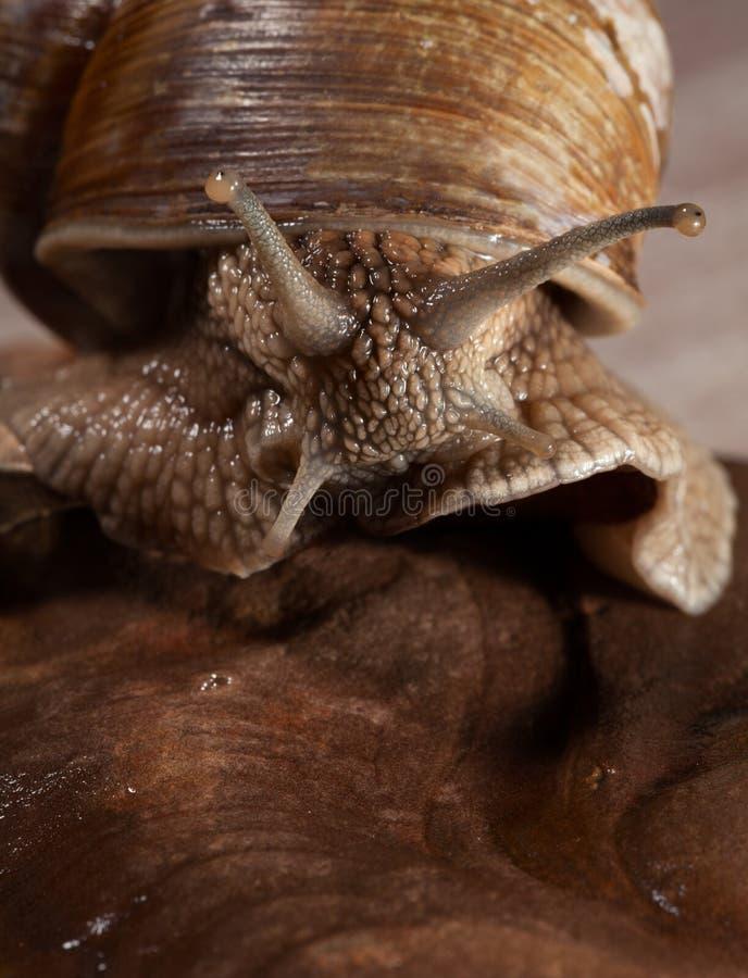 Retrato do macro do escargot imagem de stock