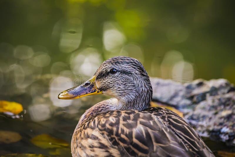 Retrato do mallard Anas platyrhynchos dabbling waterfowl bird Aproximação de um pato-real fêmea numa lagoa ou na água do rio imagem de stock