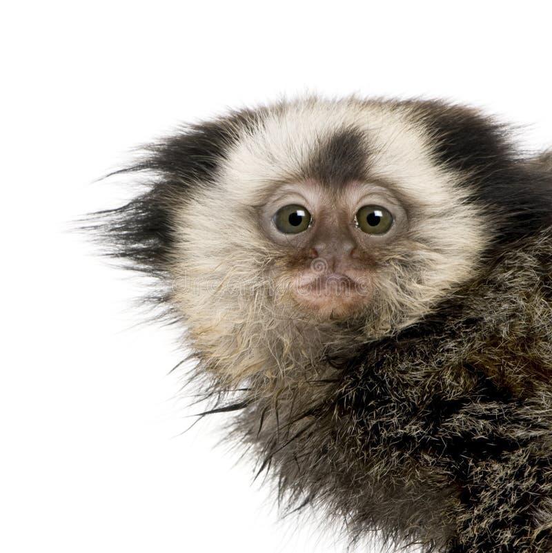 Retrato do Marmoset White-headed foto de stock
