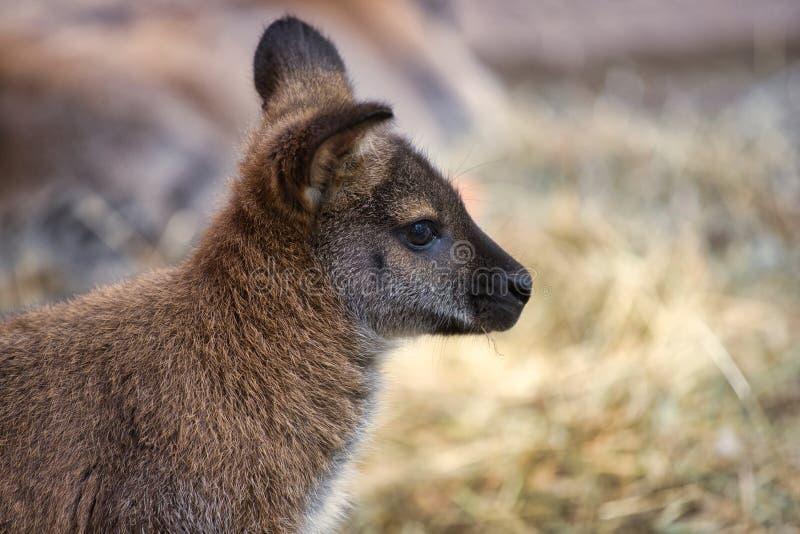 Retrato do marsupial novo do joey do canguru foto de stock