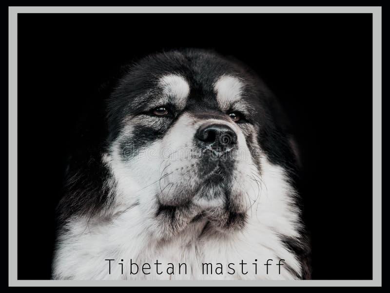 Retrato do mastim tibetano preto e branco imagens de stock