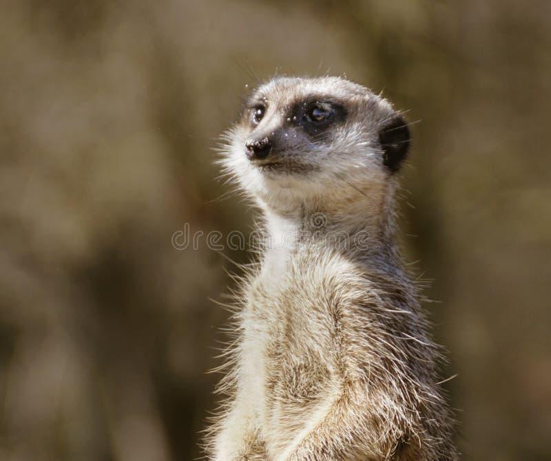 Retrato do meerkat imagem de stock