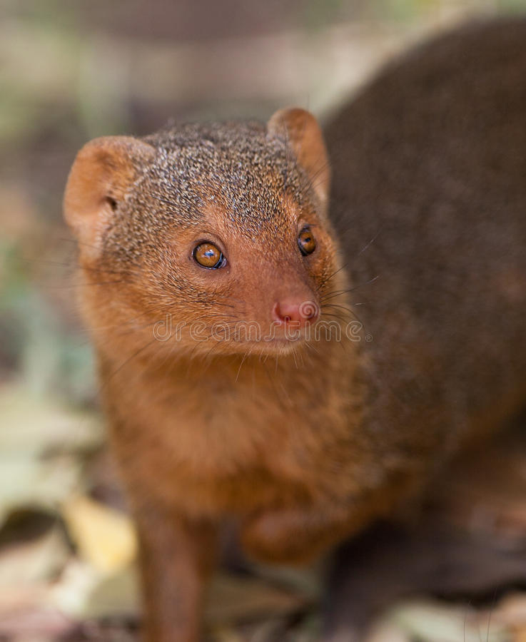 Retrato do Mongoose do anão imagem de stock royalty free