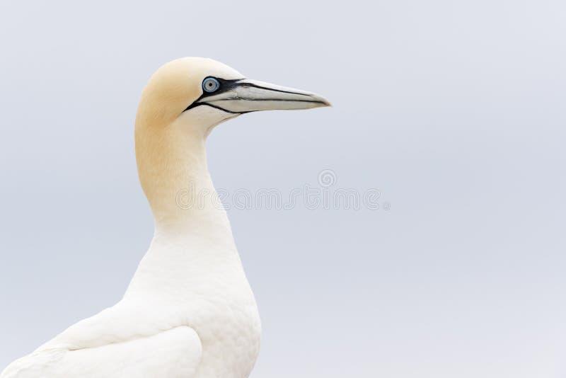 Retrato do norte da opinião lateral do albatroz em um penhasco imagens de stock royalty free