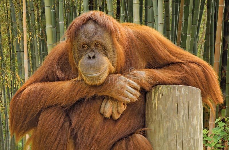 Retrato do orangotango imagem de stock royalty free