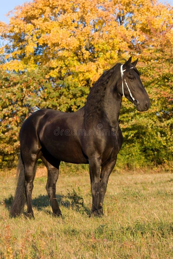 Retrato Do Outono Da égua Do Frisian Foto de Stock