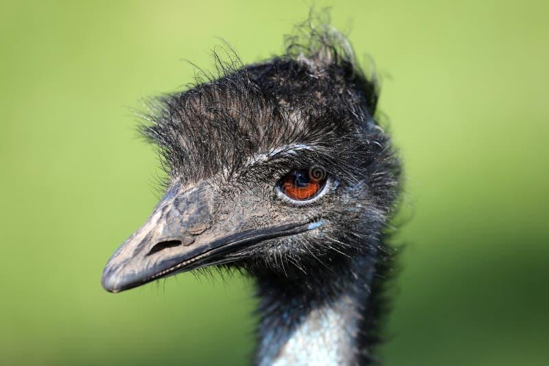 Retrato do pássaro do ema fotos de stock royalty free
