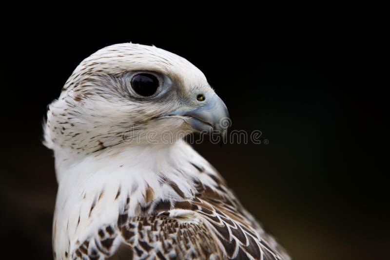 Retrato do pássaro do falcão fotos de stock royalty free