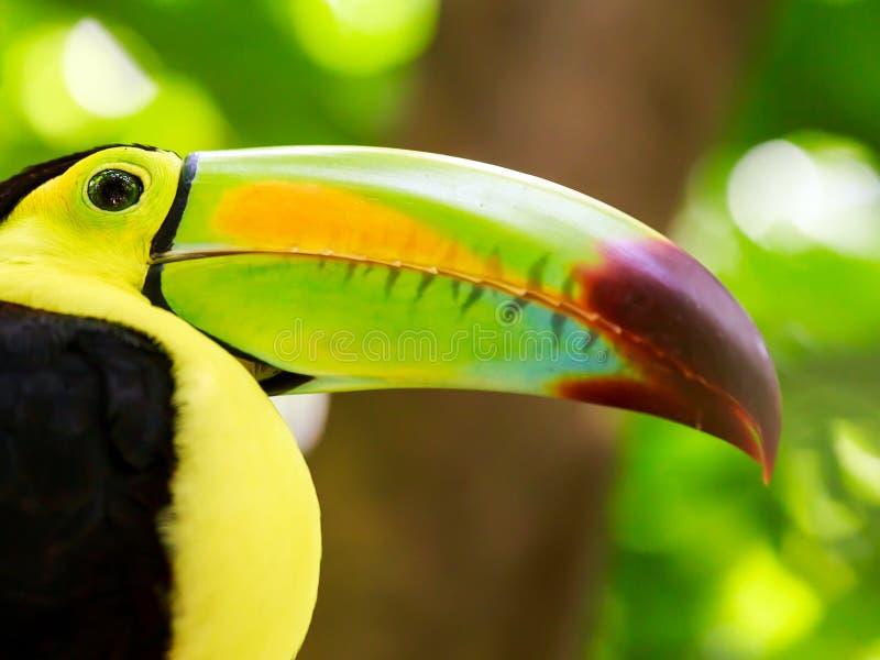 Retrato do pássaro Quilha-faturado do tucano imagens de stock royalty free