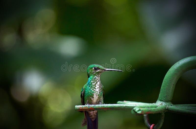 Retrato do pássaro do zumbido fotografia de stock