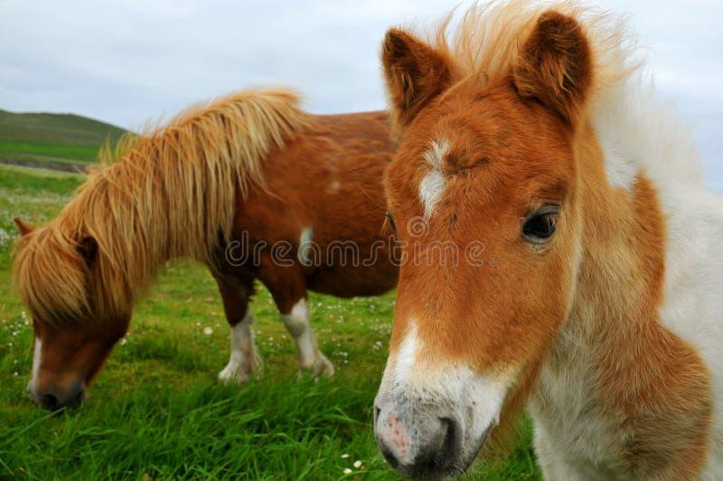 Retrato do pônei de Shetland fotografia de stock