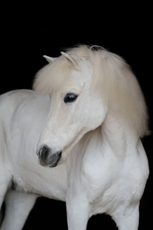 Retrato do pônei branco bonito imagens de stock
