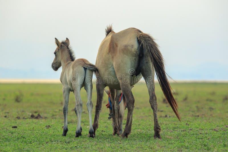 Retrato do pônei do cavalo da liberdade no prado largo natural imagens de stock royalty free