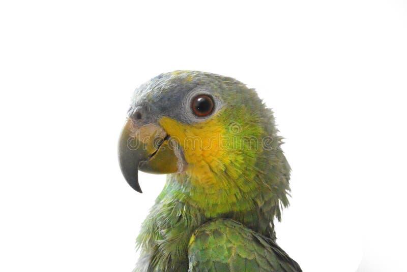 Retrato do papagaio das Amazonas em um fundo branco fotos de stock
