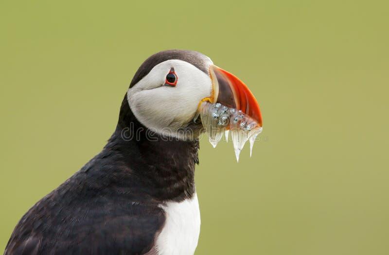Retrato do papagaio-do-mar atlântico com o bico completamente dos sandilhos foto de stock