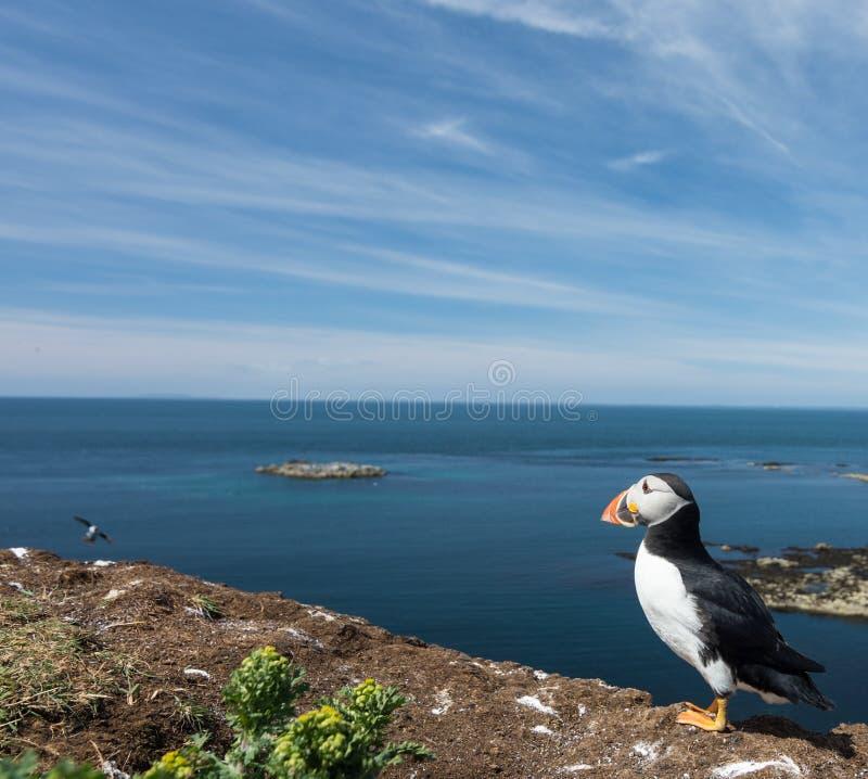 Retrato do papagaio-do-mar que olha para fora ao mar na colônia do papagaio-do-mar em Hebrides imagem de stock royalty free