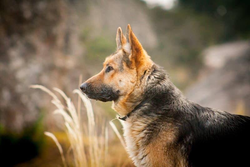 Retrato do pastor alemão da raça do cão na natureza foto de stock