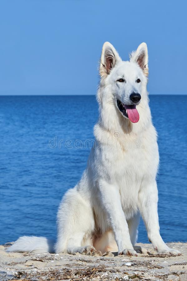 Retrato do pastor suíço branco Dog imagem de stock royalty free
