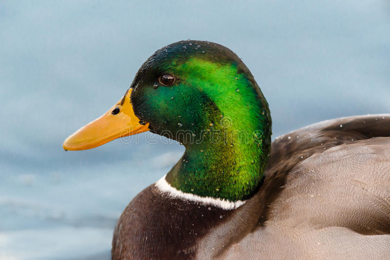 Retrato do pato masculino do pato selvagem imagens de stock royalty free