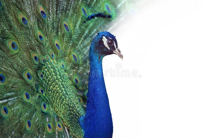 Retrato do pavão imagem de stock royalty free