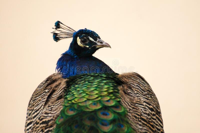 Retrato do pavão fotografia de stock