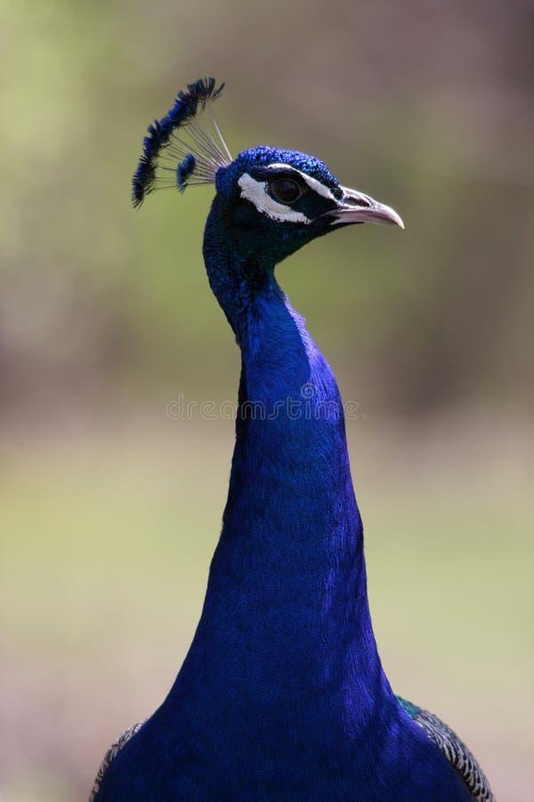 Download Retrato do pavão imagem de stock. Imagem de bico, flightless - 526339