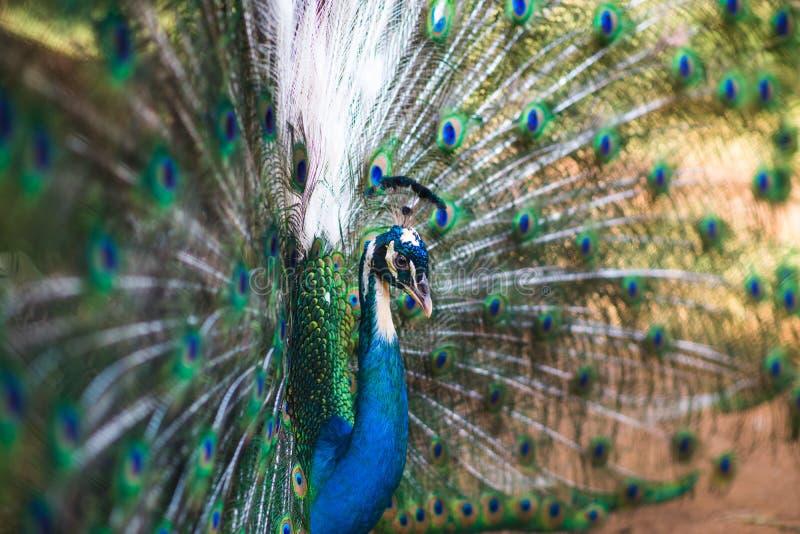 Retrato do pavão bonito com penas para fora imagens de stock royalty free