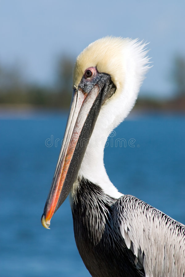 Retrato do pelicano foto de stock