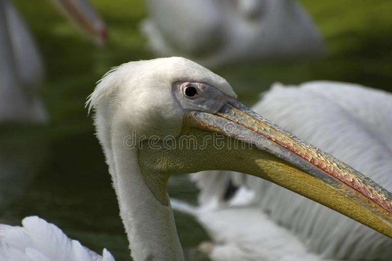 Retrato do pelicano fotografia de stock