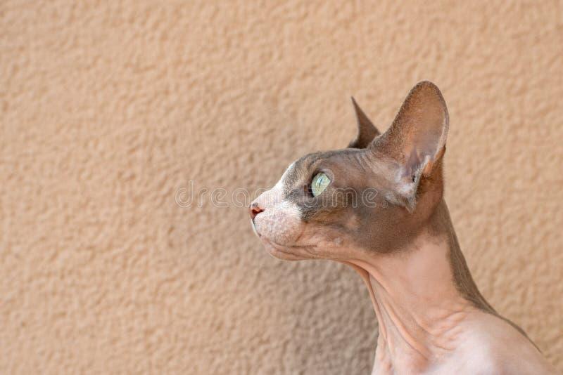 Retrato do perfil do animal de estimação do gato de Sphynx do canadense contra a parede bege fotografia de stock