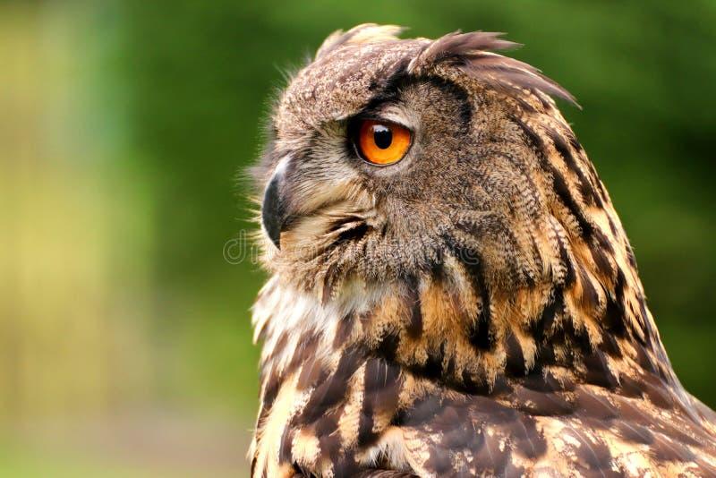 Retrato do perfil da coruja fotos de stock