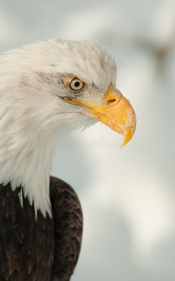Retrato do perfil de uma águia foto de stock royalty free