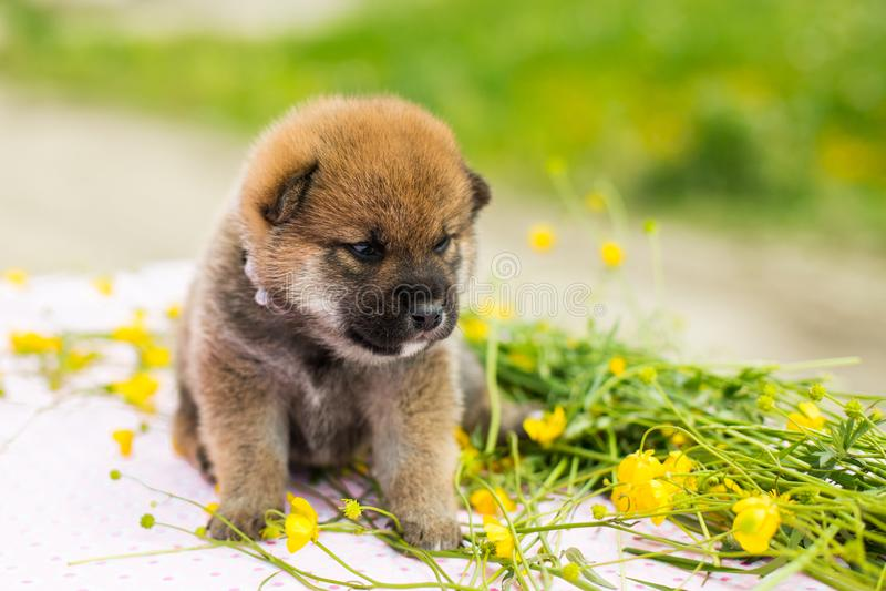 Retrato do perfil do inu velho adorável do shiba da raça do cachorrinho de duas semanas que senta-se na tabela no prado do botão  imagem de stock royalty free